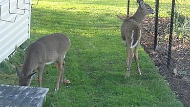 2 deer grazing between structure and fenced garden