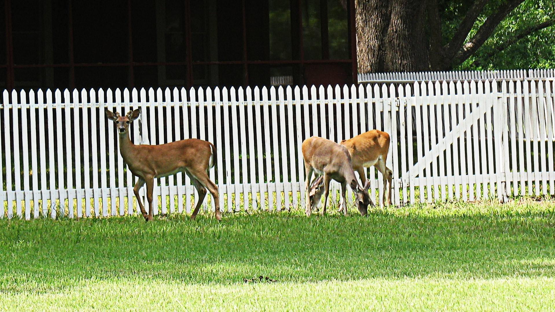 3 deer grazing near white picket fence