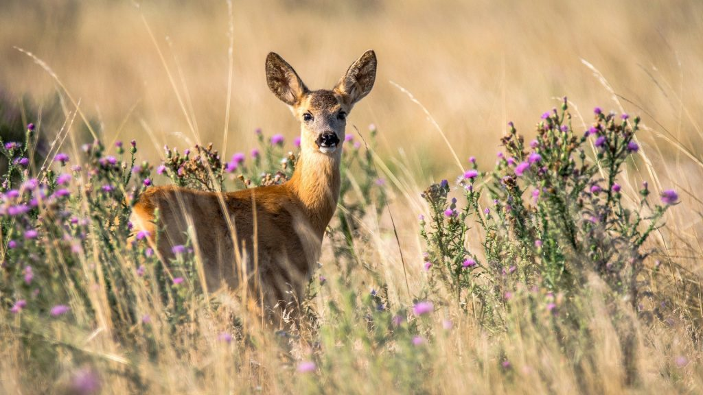 doe standing in field with purple flowers