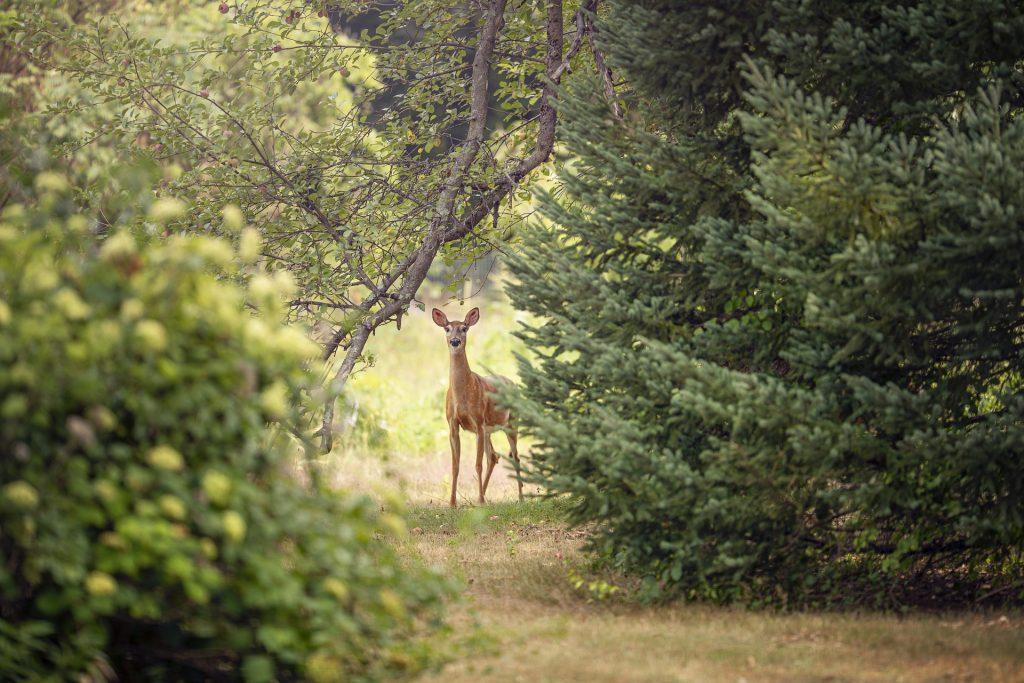 lone deer standing near pine tree